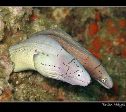 Moray double act.........Canon G7 by Brian Mayes 